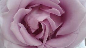De schoonheid Lila nam toe royalty-vrije stock afbeelding