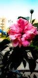 De schoonheid nam beste bloem in de wereld toe Royalty-vrije Stock Fotografie