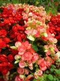 De schoonheid van de bloem met kleurrijk rood is bloeiend in de tuin stock afbeeldingen