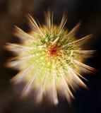 De Schoonheid van cactussen stock afbeelding