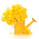 De Schoonheid van de Bloem van de gele narcis Royalty-vrije Stock Foto's