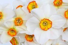 De Schoonheid van de Bloem van narcissen Stock Fotografie