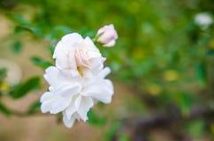De schoonheid van de bloemen in de tuin Stock Afbeelding