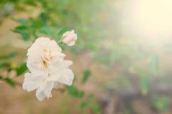 De schoonheid van de bloemen in de tuin Royalty-vrije Stock Afbeeldingen