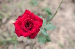 De schoonheid van de bloemen in de tuin Stock Fotografie