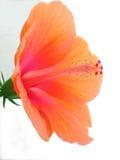 De Schoonheid van de hibiscus stock afbeeldingen