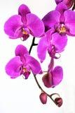 De Schoonheid van de orchidee royalty-vrije stock afbeeldingen