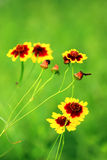 De schoonheid van de rode en gele bloemen Royalty-vrije Stock Foto's