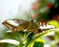 De schoonheid van de vlinder Royalty-vrije Stock Foto's
