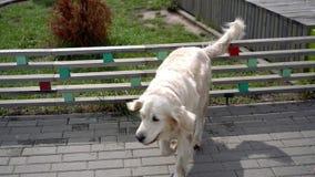 De schoonheid van langzame motie - een hond die over de omheining in een moderne stad springen stock videobeelden