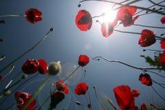 De schoonheid van lelies Royalty-vrije Stock Fotografie