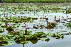 De schoonheid van de rode lotusbloem in het meer stock foto