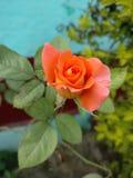 De schoonheid van sinaasappel nam toe Royalty-vrije Stock Foto