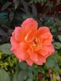 De schoonheid van sinaasappel nam toe Stock Foto's