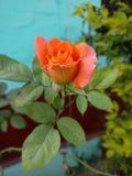 De schoonheid van sinaasappel nam toe Stock Fotografie
