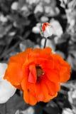 De schoonheid van sinaasappel nam toe Stock Foto