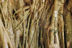 De schoonheid van wortels Royalty-vrije Stock Afbeelding