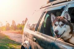 De schor hond kijkt uit het autoraam Rode Siberische schor plakte zijn gezicht uit de auto en ziet vooruit eruit stock afbeelding
