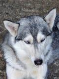 De schor hond rust in zijn kooi Royalty-vrije Stock Foto's