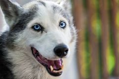 De Schor hond van Alaska bekijkt recht de camera met nieuwsgierigheid stock afbeeldingen