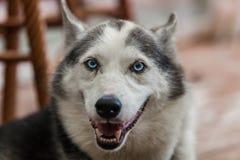 De schor hond van Alaska bekijkt recht de camera terwijl ademhaling royalty-vrije stock foto
