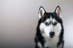 De schor hond van het studioportret met stock afbeeldingen