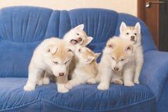 De schor puppy ploeteren op de laag Stock Foto