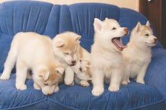 De schor puppy ploeteren op de laag Stock Fotografie