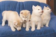 De schor puppy ploeteren op de laag Stock Foto's
