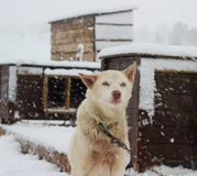 De schor sleehond van Alaska Stock Fotografie