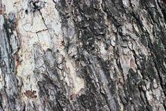 De schors is grote boom Stock Foto