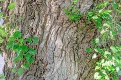 De schors op de boomstam van een grote boom is behandeld met barsten stock fotografie