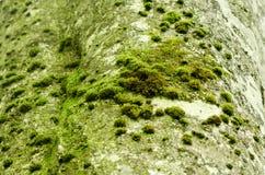 De schors van de beukboom met mos en geweven patroon Stock Afbeelding