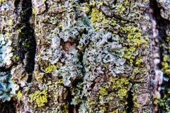 De schors van de boom met mos wordt behandeld dat royalty-vrije stock foto