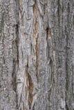 De schors van de acaciaboom stock fotografie