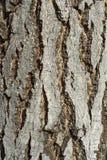 De Schors van de berkboom Stock Afbeeldingen