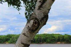 De Schors van de berkboom royalty-vrije stock afbeelding