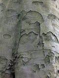 De schors van de beukboom Stock Afbeeldingen