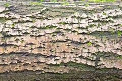 De schors van de boom stock afbeelding