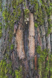 De schors van de boom Royalty-vrije Stock Foto