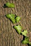 De schors van de boom met klimop royalty-vrije stock foto