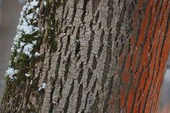 De schors van de boom met mos en sneeuw Royalty-vrije Stock Foto