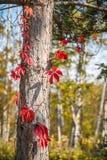 De schors van de de herfstboom Stock Foto