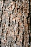 De schors van de de pijnboomboom van de textuur Stock Afbeelding