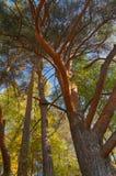 De schors van de esdoornboom Royalty-vrije Stock Foto's