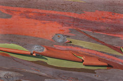 De schors van de eucalyptus Royalty-vrije Stock Foto's