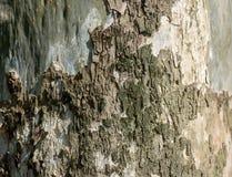De schors van de eucalyptusboom stock foto