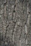 De schors van de okkernootboom Stock Fotografie