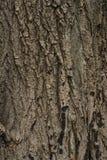 De schors van de okkernootboom stock foto