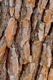 De schors van de pijnboom Royalty-vrije Stock Foto's